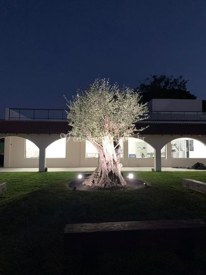 Oliveira de 200 anos cerimônia