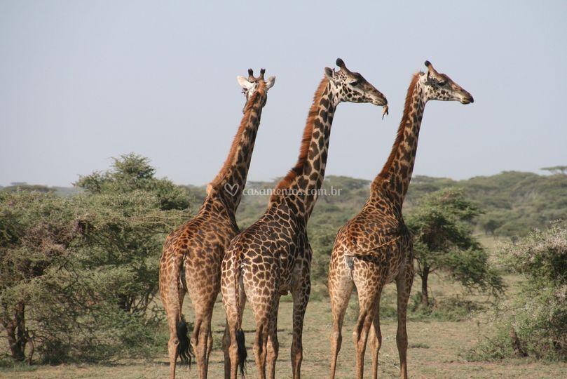 Girafas África