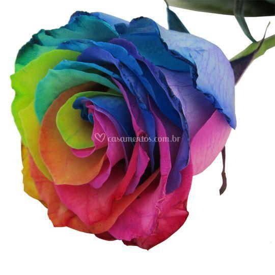 Rosa multicolorida