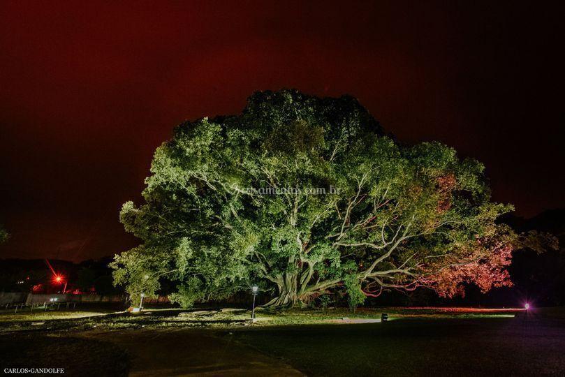 Figueira noturno