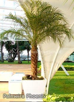 Palmeira Fenix