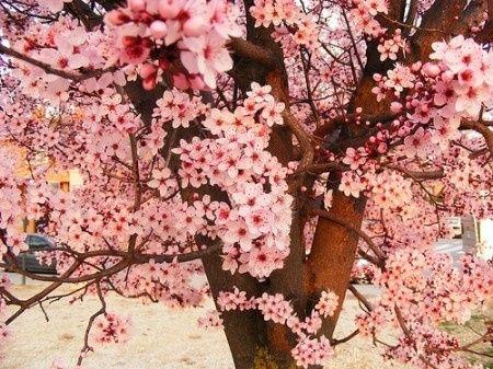 Decora o com o tema de flor de cerejeira - Arbol de rosas ...